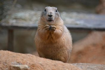 Cute prairie dog - image #341297 gratis