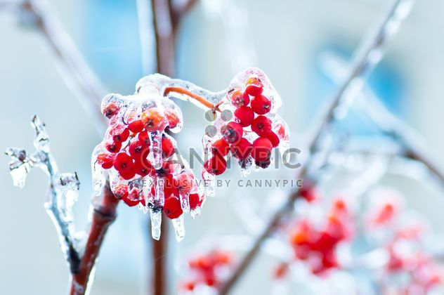 Rowan berries covered with ice - Free image #342897