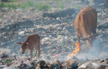 cows on landfill - Free image #343837