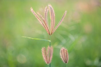 Close-up of spikelets on green background - Free image #343847