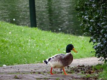 Walking duck in park - image #344257 gratis