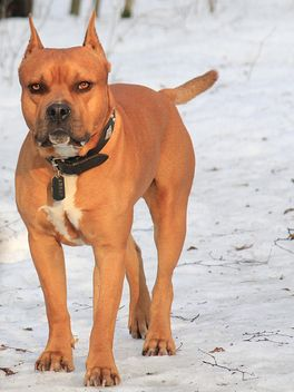 American Pit Bull Terrier on snow - image gratuit #344637