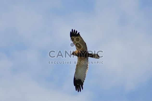 Falcon in flying in blue sky - image #345897 gratis