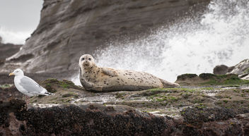 Harbor Seal - image gratuit #346167