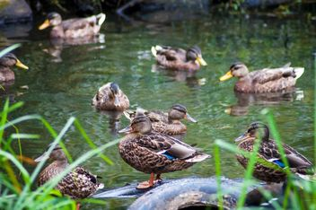 Group of wild ducks on pond - Free image #346607