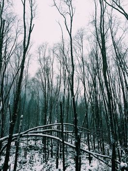 High trees in winter forest - Kostenloses image #347327