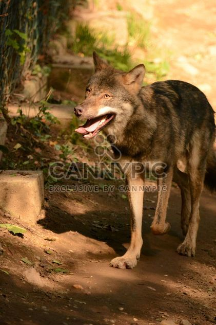 Grey wolf (Canis lupus) in zoo - Free image #348377