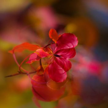 Closeup of red leaves on blurred background - бесплатный image #348397