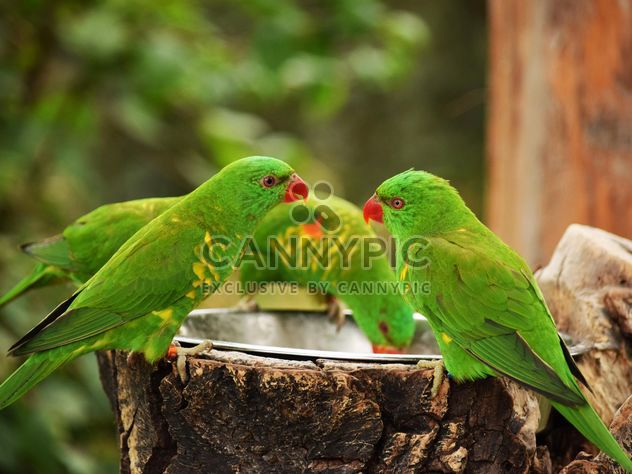 Group of green lorikeet parrots - Free image #348457