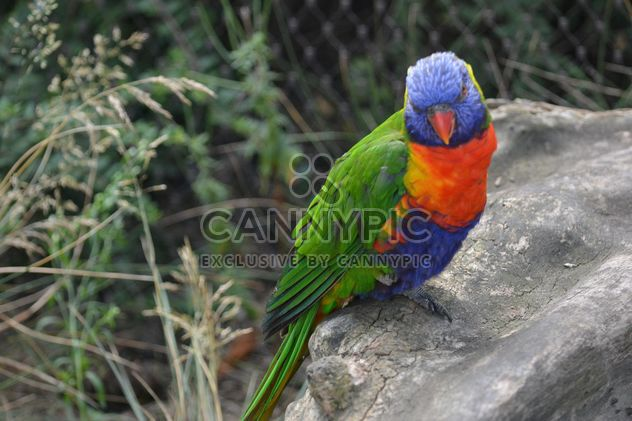 Tropical rainbow lorikeet parrot - бесплатный image #348467