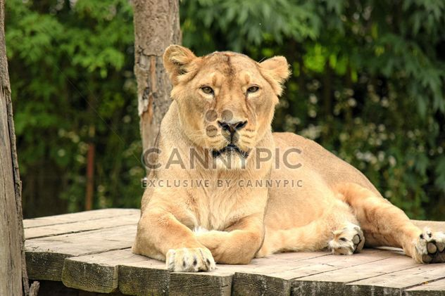 Sad lioness resting in zoo - Free image #348587