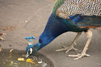 Peacock drinking water from puddle - Free image #348617