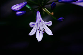 Illumination by Agapanthus - бесплатный image #351127