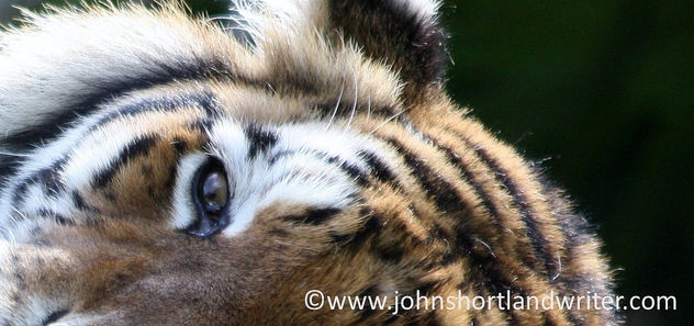 Eye of the Tiger - image gratuit #351187