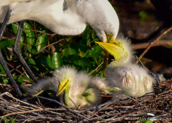 Egret and Chicks - image #355527 gratis