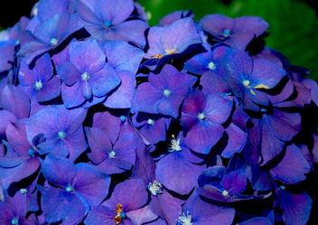 cobalt blue petals of passion - Free image #362317