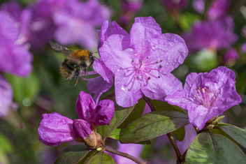 Azalea with Bumble Bee 1 - Free image #362397