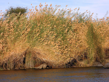 Egypt (Aswan) Reeds on the bank of Nile River - image gratuit #363477