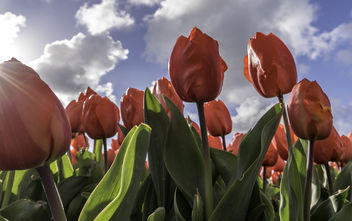 Tulips in Lisse - Free image #365197