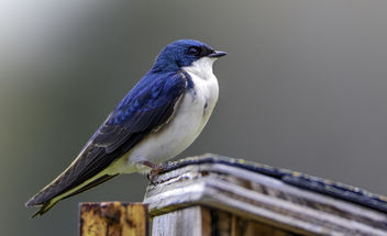 Tree Swallow - image #366657 gratis