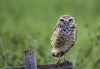 Burrowing Owl - Free image #374987