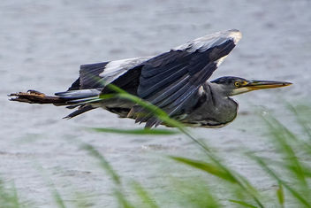 Grey Heron flying past Grisedale Hide, with something in its beak, Leighton Moss RSPB - image gratuit #377007