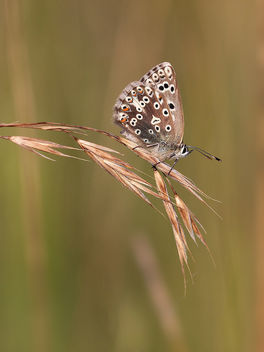 Chalkhill Blue - Kostenloses image #380457