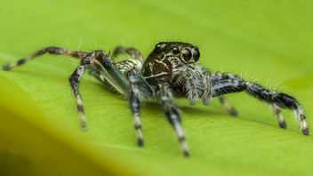 Jumping Spider - Free image #381937