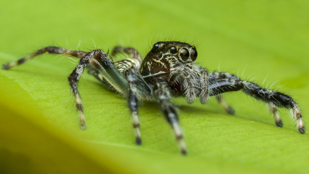 Jumping Spider - Kostenloses image #381937