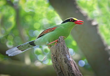 Common green magpie - image #382417 gratis