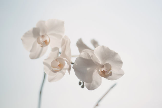 White orchid - Kostenloses image #388527