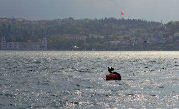 Turkey (Istanbul) Cormorant in the Bosphorous Strait - бесплатный image #388587