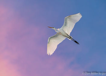 Great White Egret at Sunset - image #389017 gratis