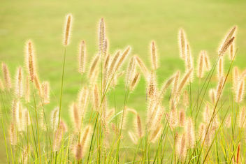 Silver Grass - Free image #389457