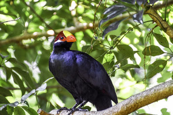 White-Crested Turaco - Free image #391587