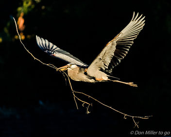 Great Blue Heron - image #394497 gratis