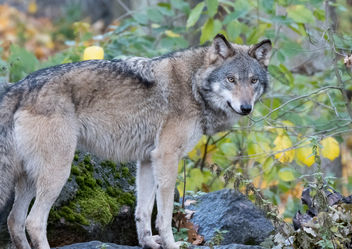 The Wolf - image #396227 gratis