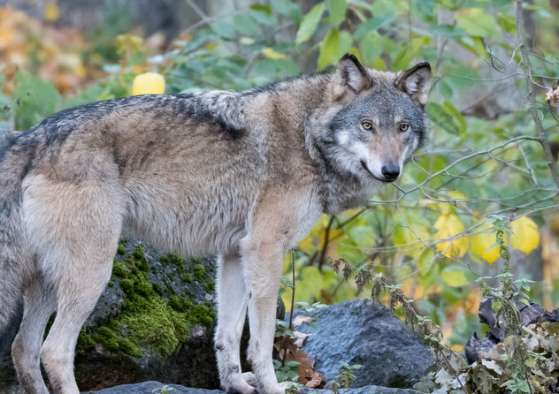 The Wolf Kostenloser Bild Download 396227 Cannypic
