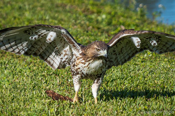 Red Tailed Hawk (juvenile) - image gratuit #403427