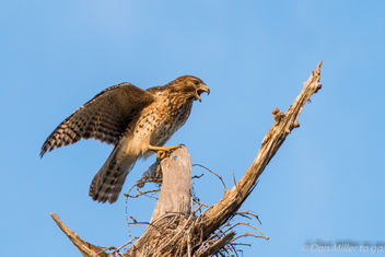 Red-tailed Hawk - image gratuit #403507