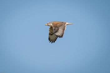 ferruginous flight-2 - image gratuit #405287