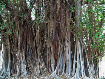 USA (Florida-Key West) Largest banyan tree in US dated 1915. - Kostenloses image #405327