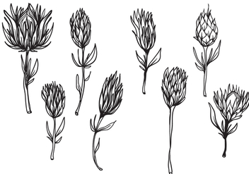 Free Hand Drawn Protea Flower Vector - Free vector #406087