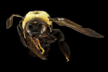 Xylocopa viginica, f, face, Prince George's Co, MD_2016-10-20-18.22 - Free image #407957