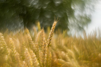 Crazy wheat - Free image #409187