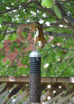 Red Squirrel Trying To Get Into The Bird Feeder - image #409717 gratis