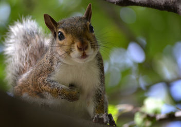 Eastern Gray Squirrel - Free image #410067