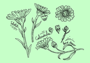 Free Calendula Vector Illustration - бесплатный vector #410587