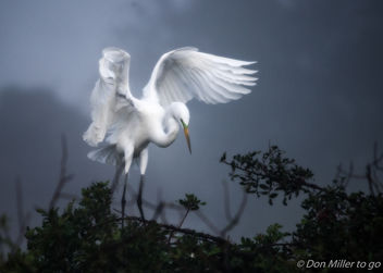 Great White Egret - image #413107 gratis