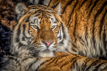 T is for Tiger - Kostenloses image #414157